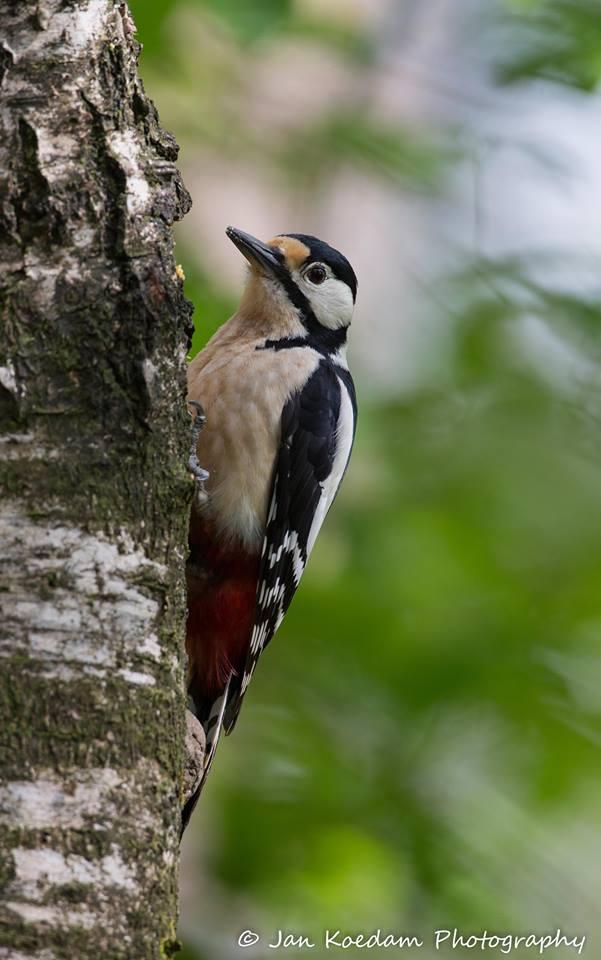 In de tuin komt u vele soorten vogels tegen, waaronder deze specht