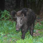 Wilde zwijnen en ander wild bezoeken met regelmaat ons eigen wildobservatiepunt